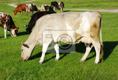 Fototapeta Krowa