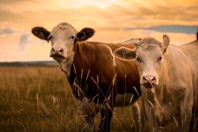 Fototapeta Krowy w zachodzie słońca