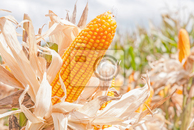 Kukurydza na łodydze w dziedzinie