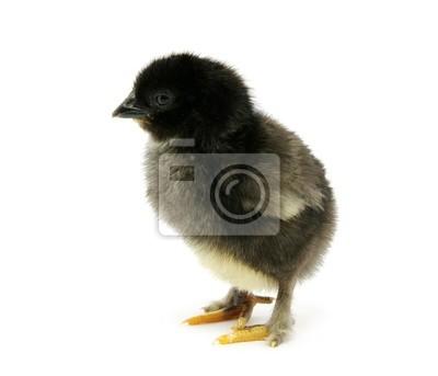 Fototapeta kurczak