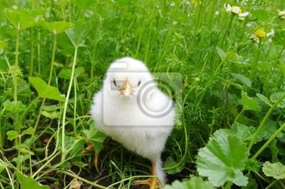 Fototapeta Kurczak Mały