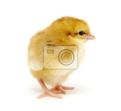 Fototapeta Kurczak na białym tle