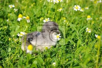 Fototapeta Kurczak na trawie