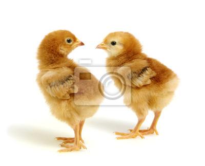 kurczaki na białym tle