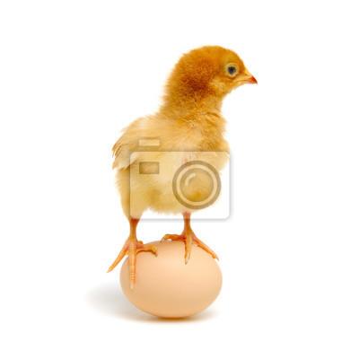 kurczątko i jajko odizolowywający na bielu