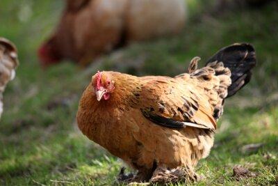 Kury i kurczaki hodowane w gospodarstwie ekologicznym