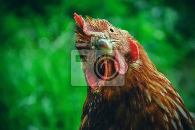 Fototapeta Kury pasą do tradycyjnej wiejskiej stodoły w słoneczny dzień. Szczegóły głowy kury. Kurczęta siedzące w kurniku. Zamknij kurczaka stojącego na stoczni stodole z kurczaka. Gospodarstwo drobiarskie bez