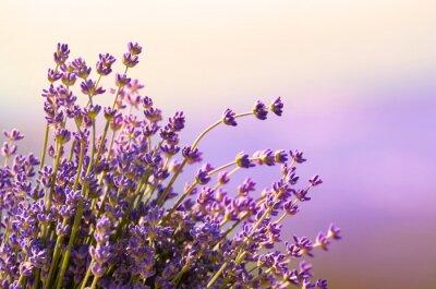 Fototapeta Kwiat lawendy kwiat czas letni