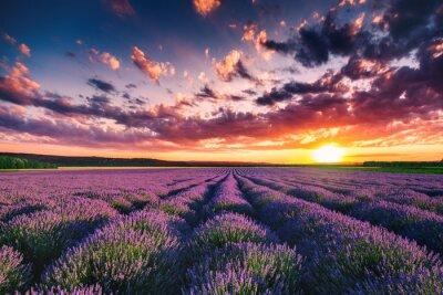 Fototapeta Kwiat lawendy kwitnących pól w niekończących się rzędach. Zachód słońca zastrzelony.