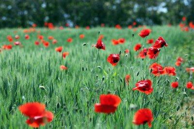 Fototapeta kwiat maku na zielonym polu sezonie letnim
