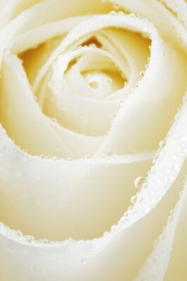 Fototapeta Kwiat róży fragmentmacro strzał
