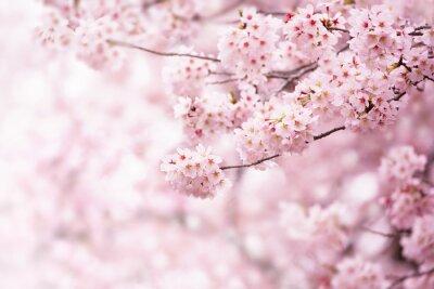Fototapeta Kwiat wiśni w pełnym rozkwicie. Wiśniowe kwiaty w małych klastrach na gałęzi wiśniowego drzewa, zanikające w białe. Płytka głębia ostrości. Skup się na centrum klastra kwiatowego.