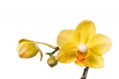 Fototapeta Kwiat żółty Orchidea samodzielnie na białym tle