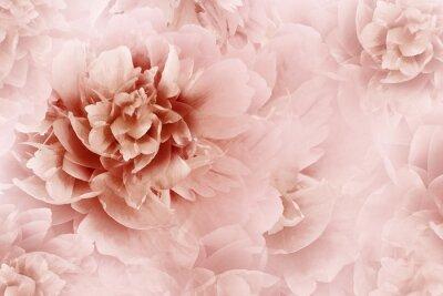 Fototapeta Kwiatowo biało-czerwone tło. Zbliżenie kwiatów piwonie na przezroczystym tle półtonów jasnoczerwony. Kartka z życzeniami. Natura..