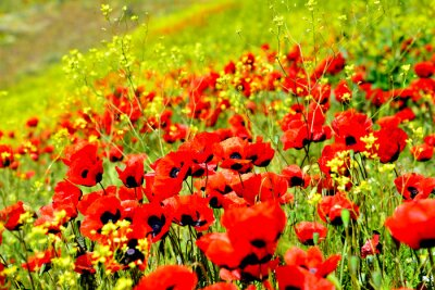 Fototapeta Kwiaty maku