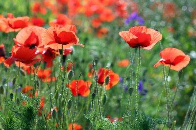 Fototapeta kwiaty maku pola Sezon letni
