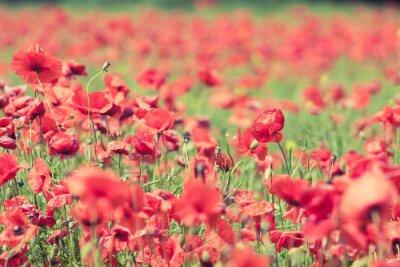 Fototapeta Kwiaty maku retro pokojowego latem w tle