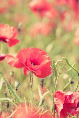 Fototapeta Kwiaty maku retro tło lato
