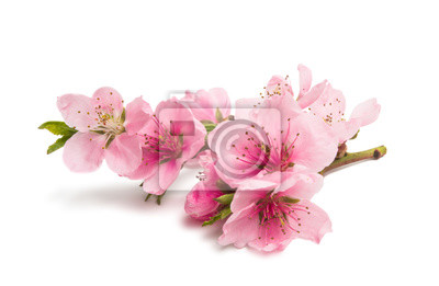Fototapeta kwiaty sakura na białym tle