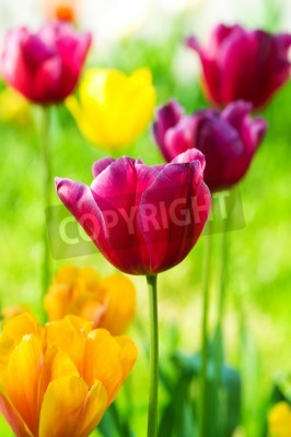 Fototapeta Kwiaty tulipanów w parku