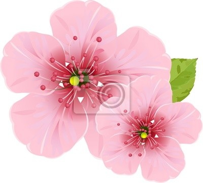 Fototapeta Kwiaty wiśni kwiat