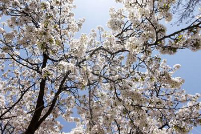 Fototapeta Kwiaty wiśniowe kwiaty na dzień wiosny