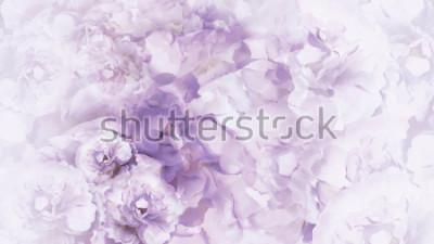Fototapeta Kwiecisty purpurowe-białe tło. Fioletowo-białe kwiaty vintage piwonie. Kwiatowy kolaż. Kompozycja kviatova. Natura.