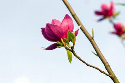 Fototapeta Kwitnące kwiaty magnolii