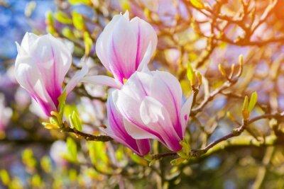 Fototapeta Kwitnące kwiaty magnolii w parku Keukenhof, stosowane jako backgro