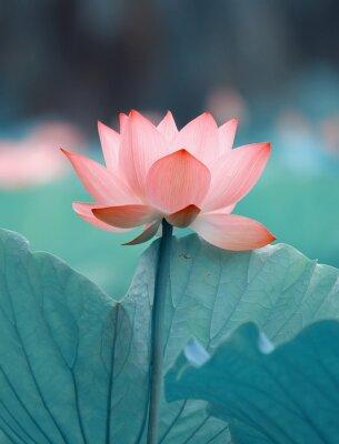 Fototapeta kwitnący kwiat lotosu