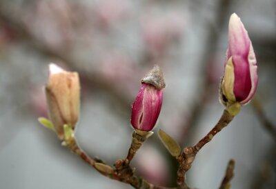 Fototapeta kwitnących drzew magnolii wiosną.