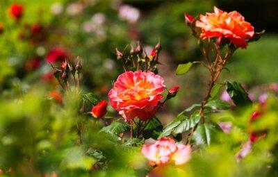 Fototapeta kwitnących róż