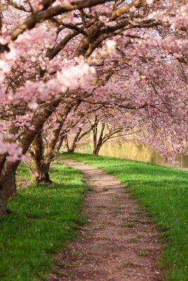 Fototapeta Kwitnienie drzew wiśni na wiosnę
