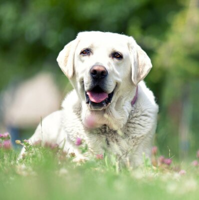 Fototapeta Labrador - Pies rodzinny