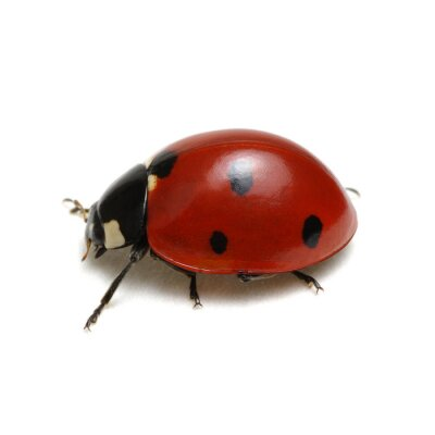 Ladybug isolated on white