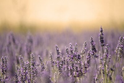 Fototapeta Łąka Lato z kwiatów. Lavender.