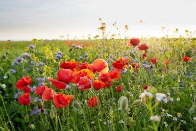 Fototapeta Łąka pełna dzikich kwiatów na zachodzie słońca