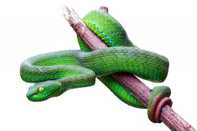 Fototapeta Large-eyed Pit Viper or Trimeresurus macrops, beautiful green snake coiling resting on tree branch with white background and clipping path.