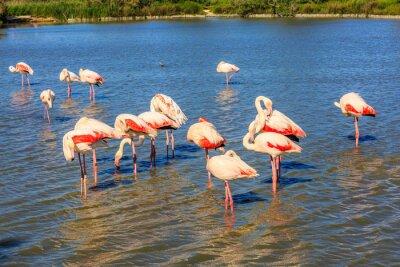Fototapeta  Large flock of pink flamingos arranged to sleep