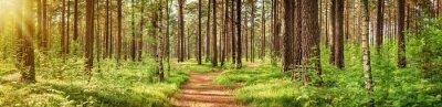Fototapeta las sosnowy panorama w lecie. Ścieżka w parku