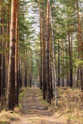 Fototapeta las sosnowy wiosna ścieżka