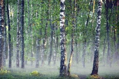Fototapeta Las z drzew brzozy na zimno mglisty poranek na początku lata
