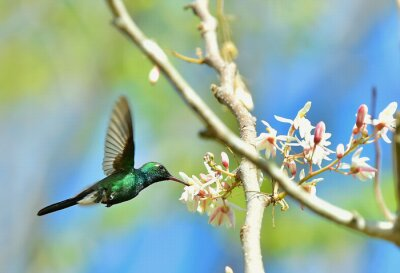 Fototapeta Latanie Cuban Emerald Hummingbird (chlorostilbon ricordii)