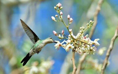 Fototapeta Latanie kubański Bee Hummingbird (mellisuga helenae)