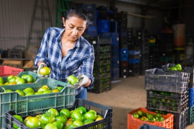 Fototapeta Latin american woman working on small vegetable farm sorting freshly harvested green tomatoes, preparing for packing and storage of crops