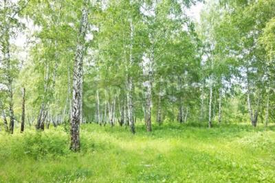 Fototapeta Lato brzozowy las