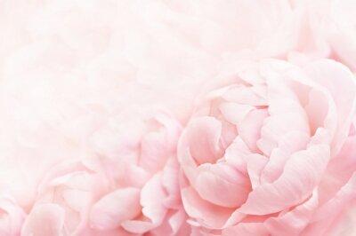 Fototapeta Lato kwitnie delikatnej peoni ramę, kwitnące peonie kwitnie świątecznego tło, pastelowej i miękkiej kwiecistą kartę, selekcyjna ostrość, tonująca