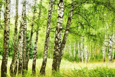Fototapeta lato w słonecznym lesie brzozy