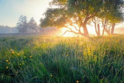 Fototapeta Lato w tle. Natura lato wcześnie rano. Kolorowa mgła w ranku świetle słonecznym nad łąką. Słońce świeci przez drzewo na dzikich kwiatach.