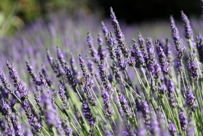 Fototapeta Lavande: plante mellifère